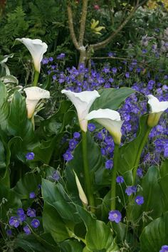 calla lillies dressed in blue