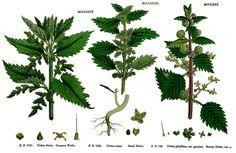 Relaxing Nervine Remedy: Skullcap (Scutellaria lateriflora) Blood Remedy: Yarrow…