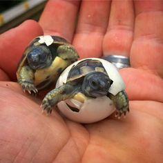 Hatching Hermans Dalamatian tortoise