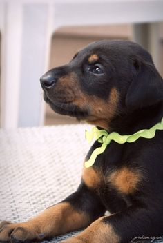 #Doberman, so cute