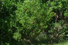 Look for the Pomegranate tree outside the Biodiversity Education Center.