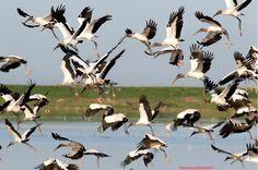 Wood storks Kevin Sunderland https://www.flickr.com/photos/35303070@N02/6185850972/sizes/l