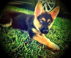 German Shepherd Husky Puppy- this is my Ellie Mae