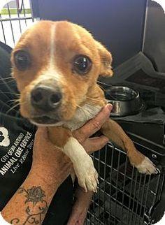 Vancouver, BC - Chihuahua Mix. Meet Thomas, a dog for adoption. http://www.adoptapet.com/pet/17225717-vancouver-british-columbia-chihuahua-mix