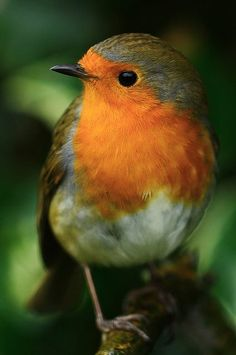 pretty robin