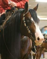 Whiz Van Winkle, 2004 AQHA Bay Stallion. A champion Sire for sure. Book early for 50% savings