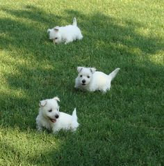 Pictures of West Highland Terriers and Westie mixes. To submit photos of Westies and Westie mixes,. Westie Puppies, Westies, Dogs And Puppies, Chihuahua Dogs, West Highland White, Baby Animals, Cute Animals, Pet Dogs, Pets