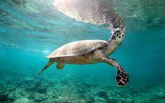 Ultra HD hawksbill turtle
