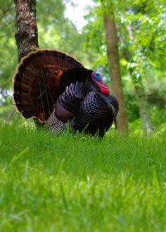 Turkey along the Blue Ridge Parkway in North Carolina