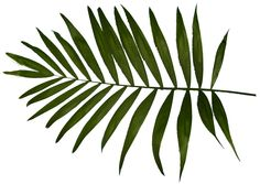 palm leaf - Google zoeken