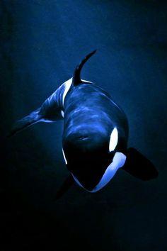 Orcas, Beautiful Sea Creatures, Animals Beautiful, Animals And Pets, Cute Animals, Strange Animals, Underwater Animals, Ocean Creatures, Tier Fotos