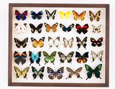 蝶の標本箱[25023040522]  写真素材・ストックフォト・イラスト素材 アマナイメージズ