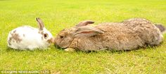On the right: Giant English Flemish  They're super cuddly!! I want one!