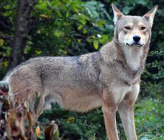 Two-year-old male red wolf at the Trevor Zoo. (Photo: Caroline Weise)