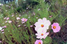 pink and white cosmos in early fall