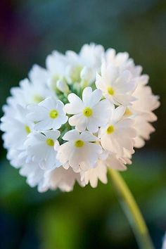 06-20-2016 White Primula denticulata. This is one of my most often pinned images.