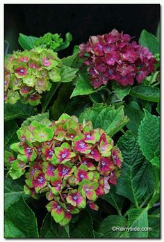 The Pistachio™ Hydrangea ,just bought one of these!
