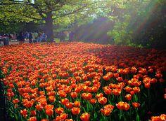 Google Image Result for http://3.bp.blogspot.com/-YLtIq-Y8BD8/UHRsDbV6bnI/AAAAAAAAGAM/Rujlmwhu64k/s1600/12241_Tulips07_TF_3257_web.jpg