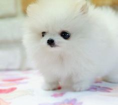 Google Image Result for http://onpuppies.com/wp-content/uploads/2012/09/Cute-Pomeranian-Puppies-White-1.jpg