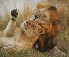 Lion cuddles are the best cuddles. Lion Love, Cute Lion, Animals And Pets, Baby Animals, Cute Animals, Big Cats, Cool Cats, Beautiful Cats, Animals Beautiful