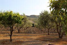 https://flic.kr/p/t7GJxM | IMG_2386 | © Amy Carlisle. View of the olive grove in the Azienda Agricola Mandranova, Sicily.