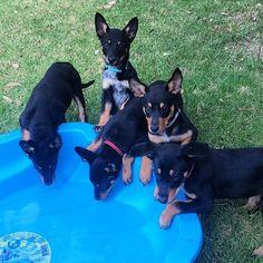 Who's up for a pool party? Me! Me! Me! Me! Me! . #pool #poolparty #puppy #puppies #puppiesofinstagram #kelpiepuppy #kelpiecountry #kelpiekuntry #australiankelpie #instakelpies #ilovemydog #kelpiesofinstagram #kelpiegram #pooltime #splash #splishsplash #puppyspam #swim #swimming #swimtime #picoftheday #kelpieoftheday #nicepuppies #cutenessoverload #cutepuppies . InstaCredit: @dukethekelpie Splish Splash, Four Legged, Cute Puppies, Cute Animals, Swimming, Country, Foxes, Party, Nature