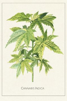 Marcel George_Botanical Illustrations for Refinery_Cannabis Indica