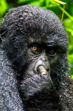 Un petit gorille se met le doigt dans le nez au Rwanda.