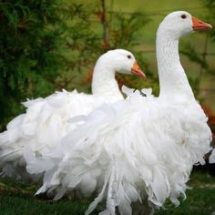 Sebastopol Geese have been called the 'pantomime goose' because of their fancy feathers. They have a curled feather mutation which gives the birds a fluffy appearance.