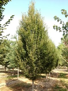 Hornbeam- Columnar European A great tree for privacy in the summer months due to its very dense growth habit. It can be planted closely together to form a perfect screen that starts just above the average fence height (6').   Category: Shade-Tree Botanical Name: Carpinus betulus Mature Height: 35' Mature Spread: 15' Shape: Dense, narrowly oval Foliage: Dark green Fall Color: Yellow