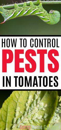 Tomato Companion Plants, Companion Planting Chart, Growing Tomato Plants, Plant Insects, Plant Bugs, Plant Pests, Tomato Bugs, Tomato Garden, Garden Bugs