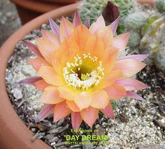 DAY DREAM Echinopsis cv (pic1)