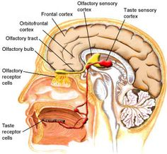 Y1.Olfaction: The Nose Knows
