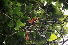 carara national park scarlet macaw   - Costa Rica