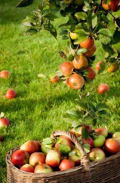 "seasonalwonderment: "" Apple Harvest "" Apple Farm, Apple Orchard, Apple Harvest, Harvest Time, Fruit And Veg, Fruits And Veggies, Country Life, Country Living, Ed Wallpaper"
