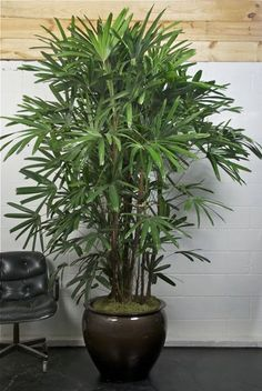 Broadleaf lady palm (Rhapis excelsa) removes ammonia, formaldehyde, xylene and toluene from indoor air.   R. excelsa should be allowed to become almost dry between thorough irrigations.  Cold Hardiness: Zone 11 (50 to 40 degrees F)