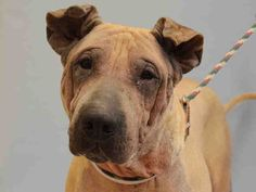 SUPER URGENT MANHATTAN BILLY – A1049680 MALE, TAN, AMERICAN STAFF / CHINESE SHARPEI, 10 yrs OWNER SUR – EVALUATE, NO HOLD Reason INAD FACIL Intake condition EXAM REQ Intake Date 08/29/2015, From NY 10453, DueOut Date 08/29/2015, I came in with Group/Litter #K15-029227. http://nycdogs.urgentpodr.org/billy-a1049680/