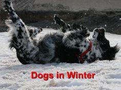 Dogs in Winter - Champion Wood Animal Hospital Socializing Dogs, Oils For Dogs, Wood Animal, Medium Dogs, Dog Memes, Dog Training, Your Pet, Dog Cat, Pets