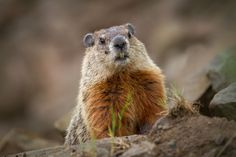 Groundhog outside of its burrow entrance. Photograph by Brittany Crossman