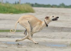 Sloughi / Berber Greyhound / Sloughi Moghrebi / Arabian Sighthound #Dogs