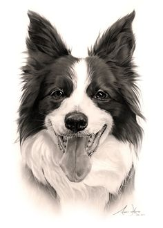 """This border collie is 'Maggie May' and she is 12 years young. She is the mother of another border collie drawing of 'Miss JD' (see previous drawings). She had to have her spleen removed in April but still going strong, and is described by her owner as """"the sweetest dog out"""" and """"so easy to live with, same as Miss JD her daughter""""."""