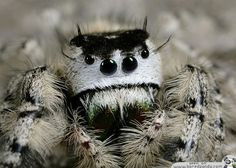 Jumping Spiders are my favorite kinds! They come in all sorts of colors and are just amazing!