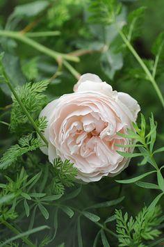 ~Noisette Rose: Rosa 'Cinderella' (U.S., 1859)