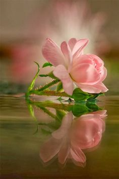 Beautiful Rose Reflection pink flowers, pink roses, floral photography, green cleaning, beauti, flower photos, wonderful places, flowers garden, reflect