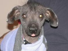 Scooter is an adoptable Xoloitzcuintle (Mexican Hairless) Dog in Brooks, AB. Our volunteer foster homes are located throughout the U.S. and Canada. Please read our main web page (see link below) to fi...