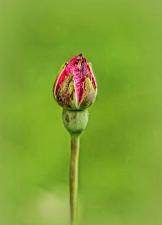Rose bud by Barış Baran TUNÇ on 500px