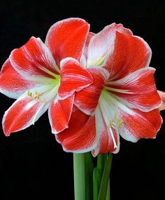 Amaryllis Razzle Dazzle - Christmas Flowering Single Amaryllis - Amaryllis - Flower Bulb Index