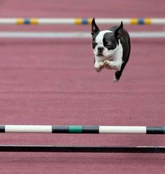 Sporty Boston Terrier by patrica Boston Terriers, Boston Terrier Love, Agility Training For Dogs, Dog Agility, I Love Dogs, Puppy Love, Pet Dogs, Dogs And Puppies, Doggies