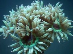 LPS Corals: LPS are Large Polyp Stony Corals and other Hard Corals for the Aquarium