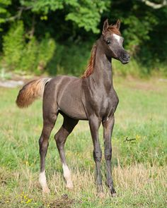 Thee Dominion (Scapa x Thee Desert Rose) 2014 Bay Colt. A beautiful colt with an outstanding legacy.